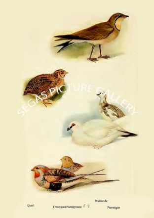 Quail, Three toed Sandgrouse, Pratincole & Ptarmigan